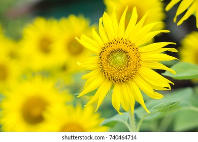 sun flower field closeup background selective focus