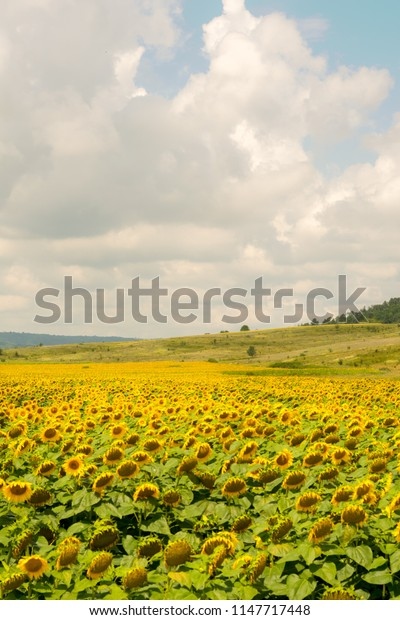 Sun flower field and cloudy sky at the horizon. Romania 2018