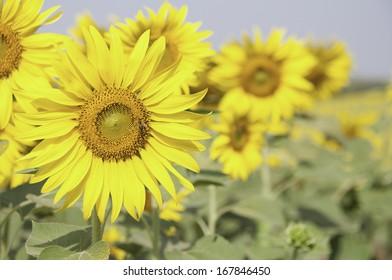 Sun Flower Field with the sun light