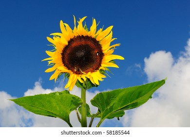 Sun flower in the garden