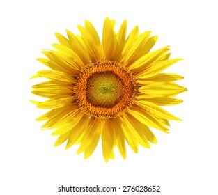 sun flower isolated white background.