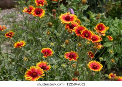 Sun Flower at Jangaliya, Bhimtal
