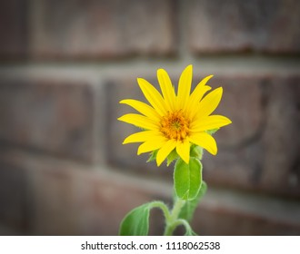 Sun flower mini next to brick wall