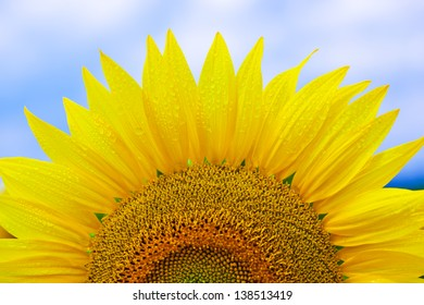 sun Flower on blue sky background