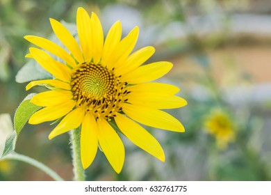 sun flower on day