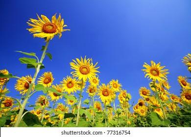 Sun Flower over the Blue Sky