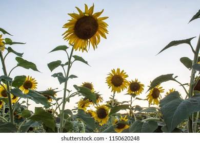 Sun Flower Stands Above