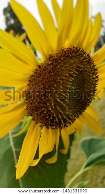Sun Flower Wallpaper Android Phone Nature Stock Image