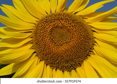Sun flower in warm morning light