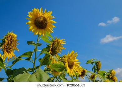 The Sun flowers with blue sky background