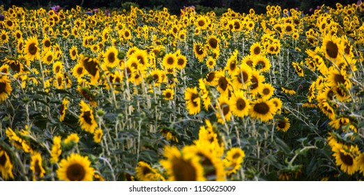 Sun Flowers in The Field