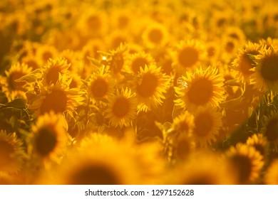 A lot of sun flowers growing on a field