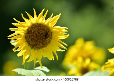 Sun Flowers standing in the sun light during day time at McKee-Beshers Wildlife Management Area, Marlyland, USA