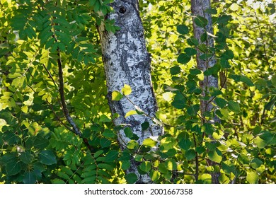 The sun gilds the birch forest early in the morning