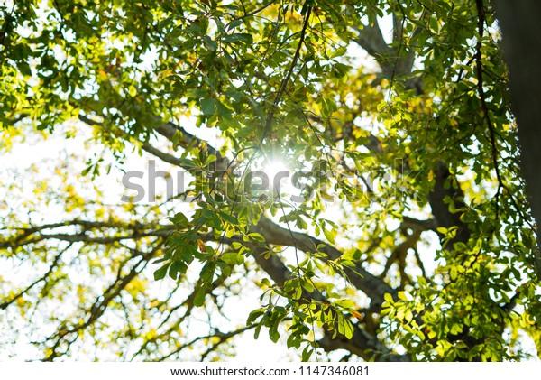 Sun glaring through leaves