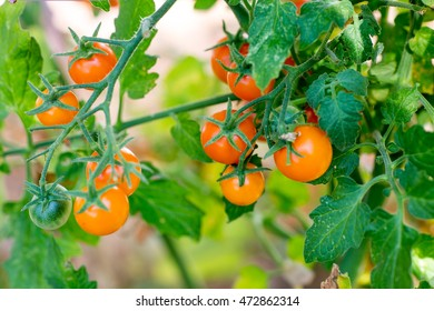 Sun Gold cherry tomatoes on the vine