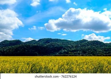 Sun hemp field with mountain and blue sky, Korat Thailand.