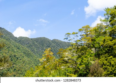 Sun hits foliage of New Zealand native podocarp forest foreground with deeper charactistic green hillsides beyond under clear blue sky.