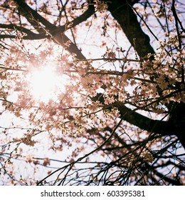 Sun intertwining between the cherry branches in the spring