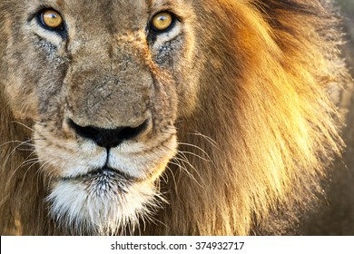 Sun Kissed Male Lion Close-up