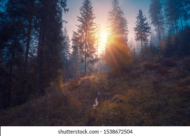 Sun light through the trees, rising over spruce forest trees at Carpathian mountains.
