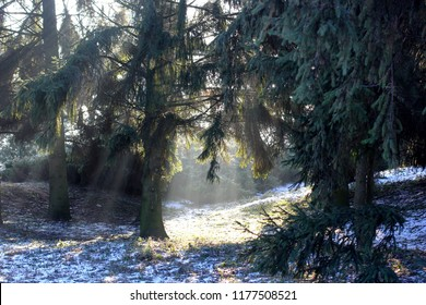 Sun light in the winter forest with white fresh snow and pine trees