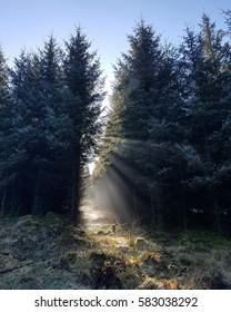 sun, mist and pine trees