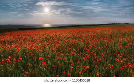 Sun over Poppies, Polly Joke, West Pentire, Cornwall