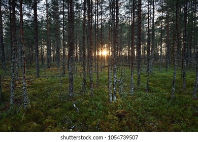 Sun peeking behind of trees. Sunset in forest. Sunshine in forest.