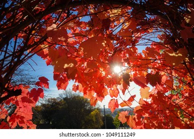 Sun peeking through autumn red vine leaves. Daylesford, VIC Australia.