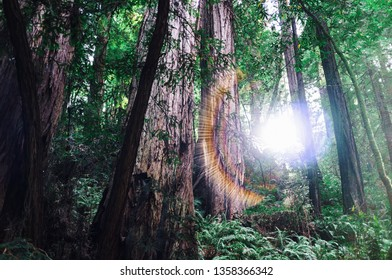 Sun peeking through giant redwood trees in Muir Woods