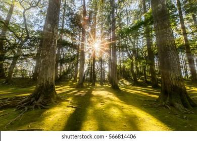 sun ray coming through pine forest in Obi, Kyushu, Japan.