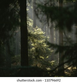 Sun rays amidst trees in forest