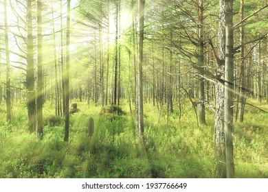 sun rays in coniferous forest, abstract landscape summer forest, beautiful wilderness nature