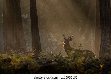 Sun rays falling on Sambar  Deer picture is taken at Kabini in India.