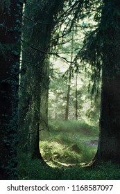 Sun rays falling throw morning fog in forest.Mystical landscape with fir forest .