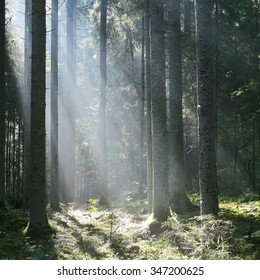 Sun rays in a fog in the forest. Latvia
