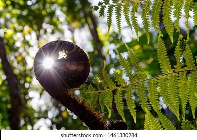 sun rays going thru koru, silver fern