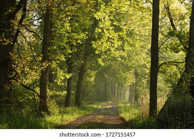 Sun rays illuminate spring oak leaves along a country road.