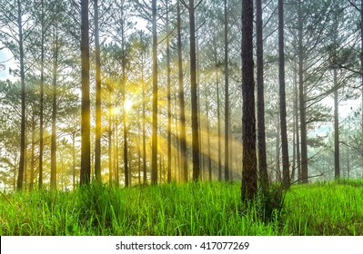 Sun rays in pine forest with early morning dew, ray beam shines through pine trees on lawn sunlight beneath shimmering fanciful. Dreamy setting for a new day more vitality