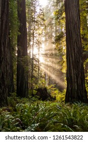 Sun rays in the redwood forest
