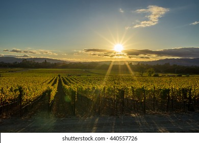 Sun rays shine on Sonoma California vineyard at sunset. Golden hour in Sonoma Valley wine country in autumn. Sun beams through low clouds over rows of grapevines at harvest time.