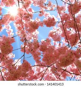 Sun rays shine through Japanese cherry blossom trees