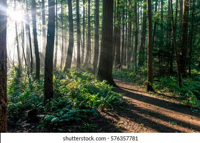 Sun rays shine through trees in an evergreen boreal forest