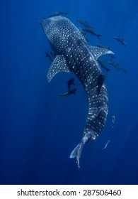 Sun rays shining down on whale shark, Rhincodon typus.