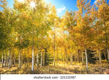 Sun rays shining through leaves in an aspen grove in fall