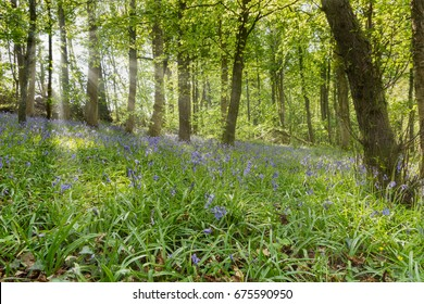 sun rays shining through the trees onto a bluebell field Loch Lomond and Trossachs national park Scotland UK