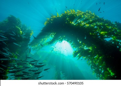 Sun Rays Through Kelp and a School of Fish  in California
