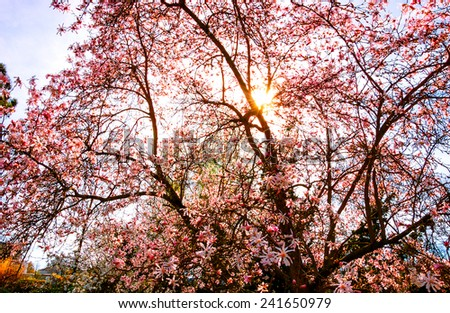 Sun Rays Through Magnolia Tree Blossom Stock Photo Edit Now