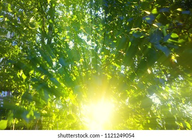 Sun rays through tree crown background